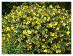 Yellow Flowering Shrubs Uk - shrubs jayne anthony garden design