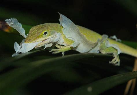 Lizard Shedding Skin by Lizard Bugs