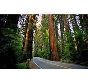Road Sequoias Redwood Nature Landscape Forest