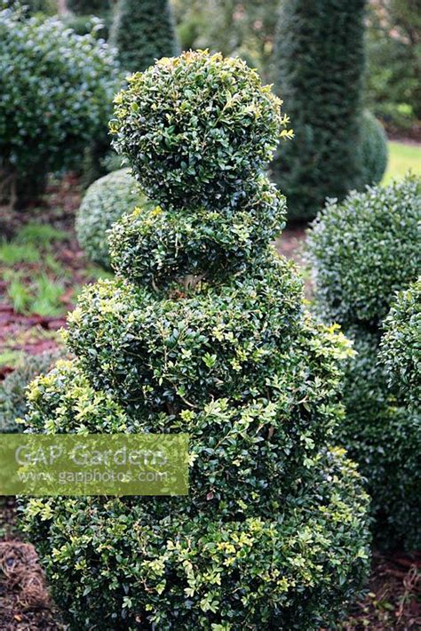 shrub topiary gap gardens buxus sempervirens spiral box topiary
