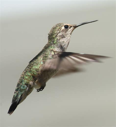 id of hummingbirds in near roseburg oregon hummingbirds