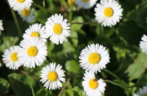 menanam bunga aster  rumah floweriancom