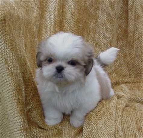 shih tzu cross poodle puppies for sale mari may shihpoos puppies for sale