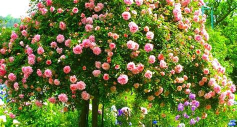 alberello da giardino ad alberello potatura creare ad alberello