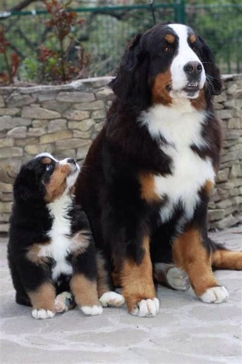 st bernese mountain puppy 17 best ideas about st bernese mountain on big dogs adorable