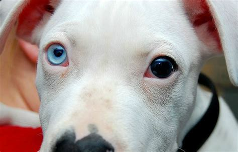 dogs with two different colored heterochromia in dogs causes classification breeds