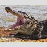 Alligator Mouth Open Drawing | 799 x 640 jpeg 115kB