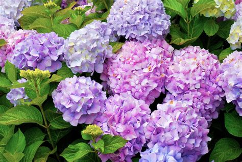 Family Kitchen Ideas how to care for hydrangeas real simple
