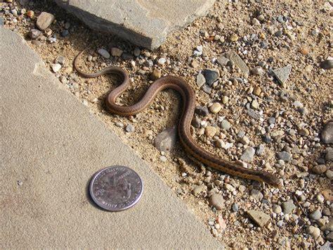 Garden Snake Identification Tiny Common Garter Snake The Of Your Time