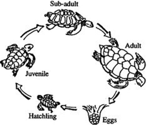 cycle of a turtle diagram the sea on cycles the sea