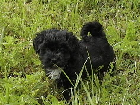 black havanese puppies havanese puppy pictures havanese breeders pictures havanese puppies in
