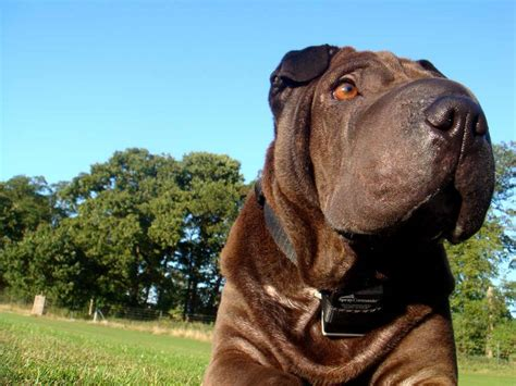 shar pei breed shar pei information and shar pei pictures breeds picture
