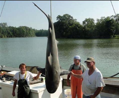 mississippi river sharks nation s tri athletes just ignore the 8 bull sharks