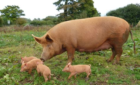 pig and our pigs ranger pigs