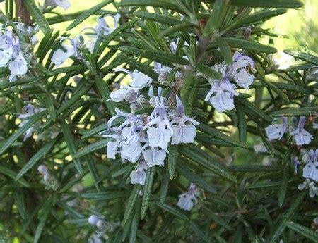 cura rosmarino in vaso coltivare le piante aromatiche consigli coltivazione e cura