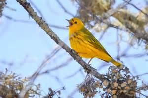 yellow warbler rhode island bird hunter