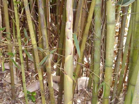 water bamboo phyllostachys heteroclada marthas secrets