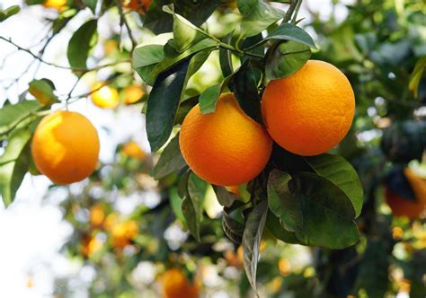 fruit trees for zone 4 cold hardy citrus tree varieties choosing citrus trees