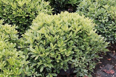 arbusti da fiore sempreverdi arbusti da fiore perenni arbusti sempreverdi da fiore da