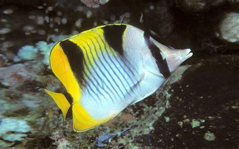 bep chaetodon falcula butterfly fish wallpaper hd