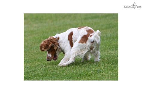 field bred cocker spaniel puppies meet rocky a cocker spaniel puppy for sale for 900 field bred ecs 1