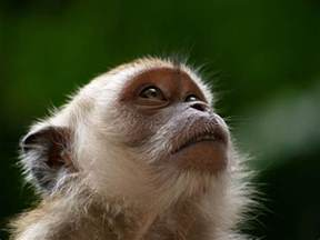 Monkey Wallpaper by Beautiful Wallpapers Monkey Hd Wallpapers