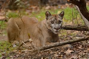 Jaguar In Florida No Home For The Florida Panther The New Yorker