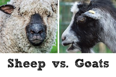 new year goat vs sheep sheep vs goats the countdown st martin in the