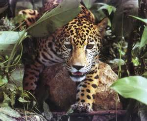 Jaguars Of The Rainforest Help The Rainforests About Animals In The Rainforest