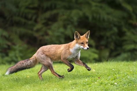 a guide to domesticated pet foxes