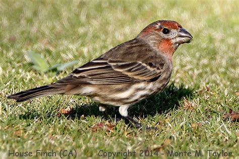 house finch california house finch california 28 images house finches