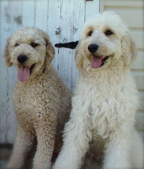 goldendoodle hair types these are goldendoodles but they look like my two