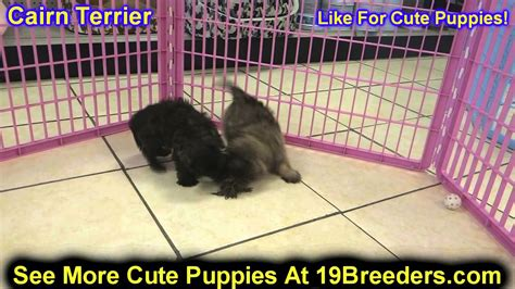 puppies for sale casper wy cairn terrier puppies for sale in cheyenne wyoming wy casper laramie