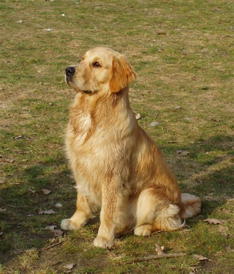 golden retriever house golden retriever house golden house retriever