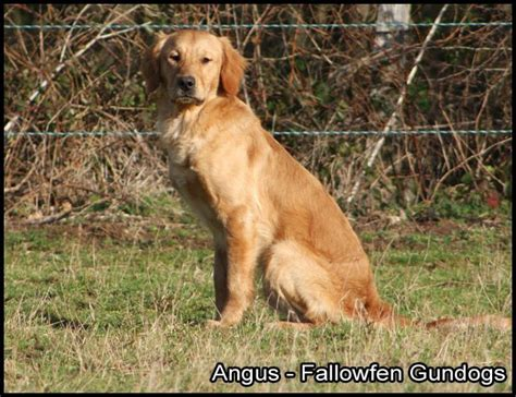 working golden retrievers for sale working golden retriever puppies brodick isle of arran pets4homes