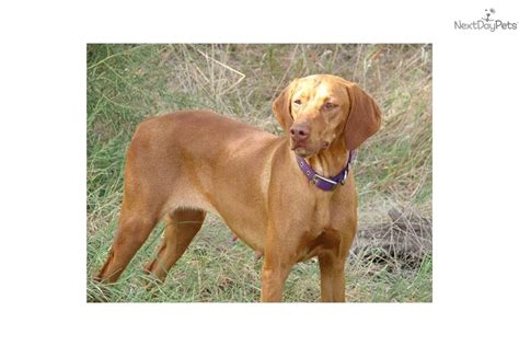 vizsla puppies ohio vizsla puppies for sale vizsla puppy breeders vizsla pictures breeds picture