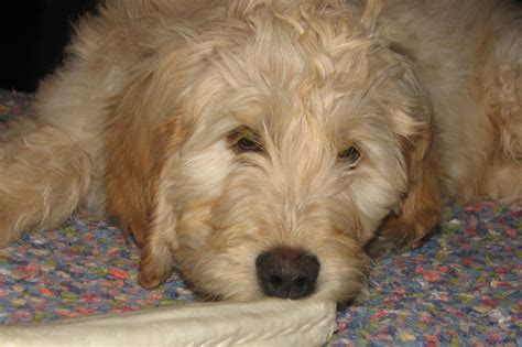 golden retriever stomach problems goldendoodle problems images