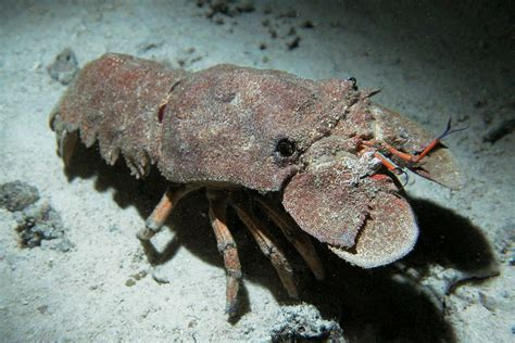 slipper tails slipper lobster