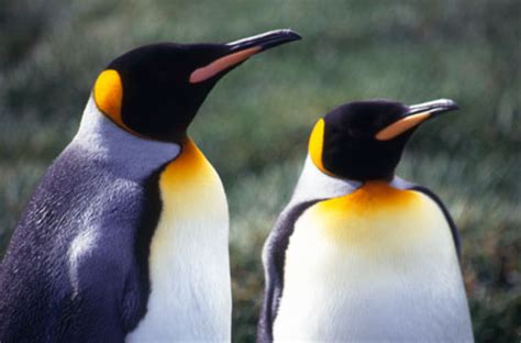 King Penguin Pictures, Good Pictures and Facts on King ...