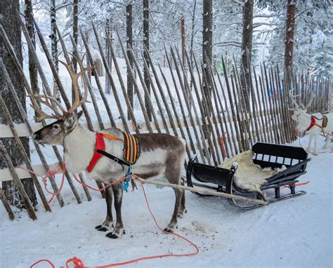 where to buy a sled and reindeer for the roof of your house 15 must see reindeer pins finland and sleigh rides