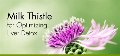 Milk Of The Thistle To Detox by Milk Thistle For Optimizing Liver Detox