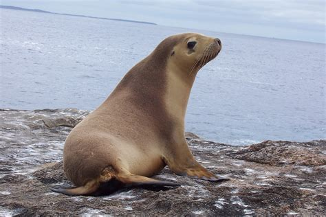 the sea l eared seal