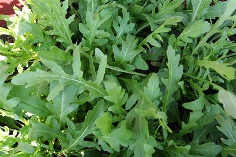 piccola area di terreno con erba e fiori rucola eruca eruca orto rucola