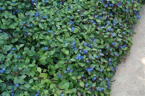 C Nel Flower Flat ceratostigma plumbaginoides piante perenni