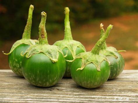 Benih Terong Kuat benih terong lalap hijau