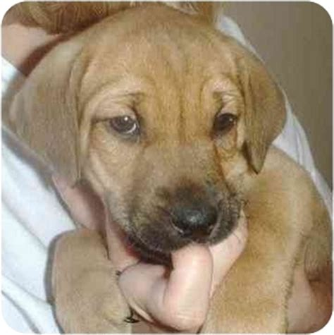 bloodhound mix puppies bull mastiff bloodhound mix breeds picture