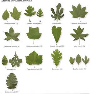 And opposite pinnately compound entire leaflets deciduous and contain