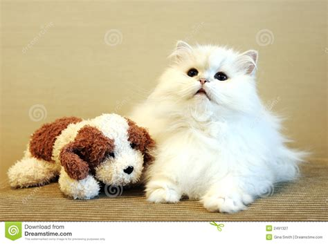 puppy cat white cat and royalty free stock photography image 2491327