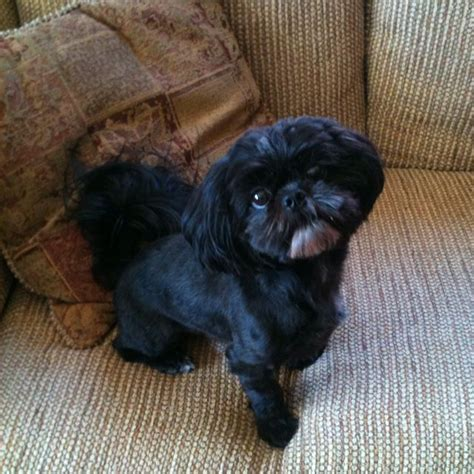 all black shih tzu 17 best images about shih tzu hairstyles on donuts maltese haircut and