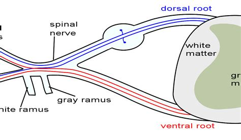 identify all indicated parts of the nerve section spinal nerves boundless anatomy and physiology